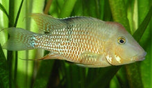 Load image into Gallery viewer, GEOPHAGUS STEINDACHNERI CICHLID 1.5""