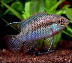 BEAUTIFUL DWARF FLAG CICHLID (Laetacara curviceps) 1.5