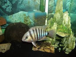 GREAT CUTTER CICHLID 1.5