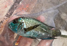 Load image into Gallery viewer, AMAZING ELECTRIC BLUE ACARA CICHLID 4""