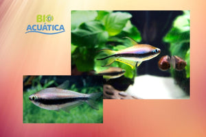 6 PACK BEAUTIFUL TETRA EMPEROR REGULAR