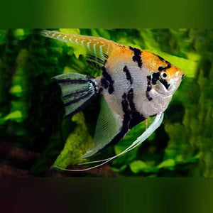 BEAUTIFUL GOLD MARBLE ANGELFISH (QUARTER BODY SIZE)
