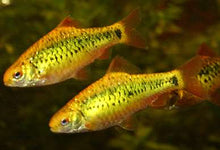 "Load image into Gallery viewer, 5 PACK CUTE GOLD BARB  (Puntius semifasciolatus) 1""  ( Combine Shipping )"
