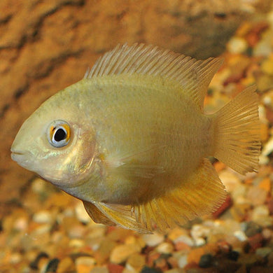 GORGEOUS GOLD SEVERUM 1.0