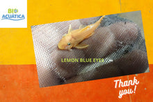 Load image into Gallery viewer, BEAUTIFUL BLUE EYE LEMON BRISTLENOSE ANCISTRUS 1.5 ""