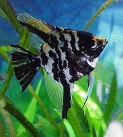 FANTASTIC  MARBLE ANGELFISH (SILVER DOLLAR BODY SIZE)  !!! FREE SHIPPING !!!!