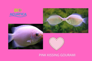 2 LOVERS PINK KISSING GOURAMI 1.5 TO 2
