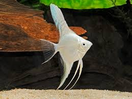 AWESOME PLATINUM ANGELFISH (SILVER DOLLAR BODY SIZE)