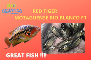 THE GREAT RED TIGER MOTAGUENSE RIO BLANCO F1