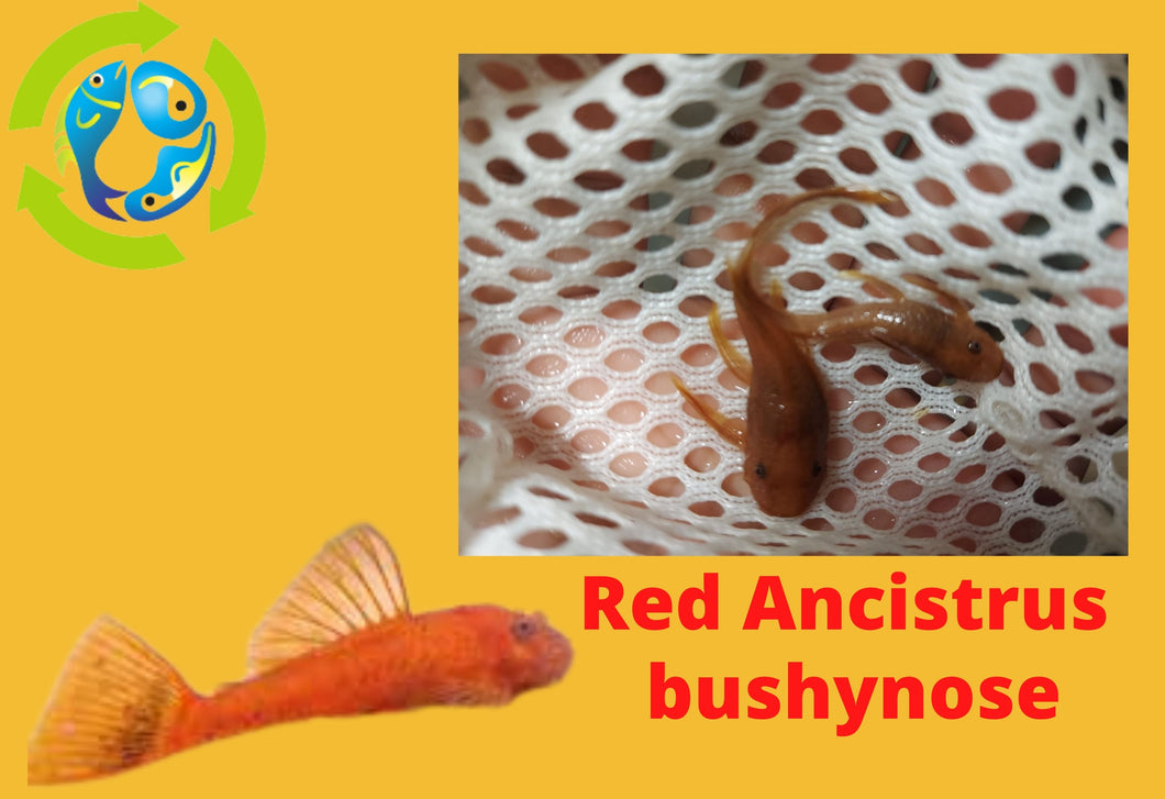 FANTASTIC SUPER RED ANCISTRUS BUSHYNOSE 1.5
