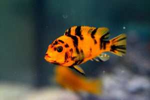 COLORFUL RED BLOTCH AFRICAN CICHLID 1 to 1.5