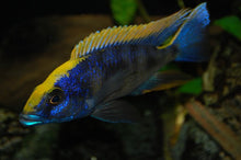 Load image into Gallery viewer, Aristo Yellow Blaze Cichlid Otopharynx Lithobates (Zimbawe Rock) 4 Inches Males