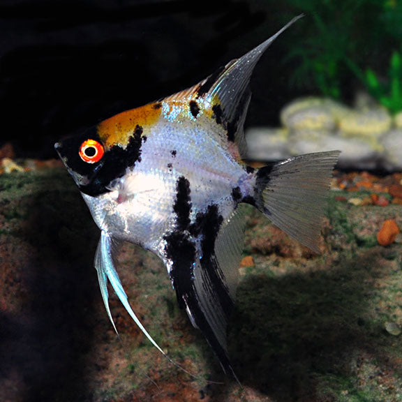 CUTE KOI ANGELFISH DIME BODY SIZE