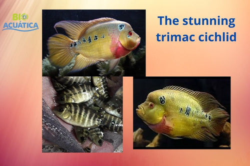 THE STUNNING TRIMAC CICHLID 1