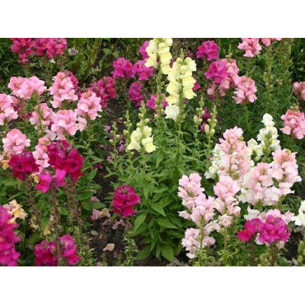 Antirrhinum Majus 'Snapdragon' Biodynamic Seeds - Organic and Demeter Certified brought to you by TheBiodynamic.store