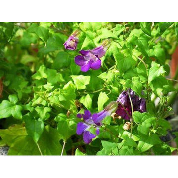 Asarina Scandens 'Climbing Snapdragon' Biodynamic Seeds - Organic and Demeter Certified
