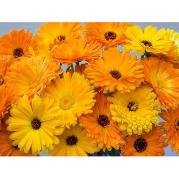 Calendula Officinalis 'Marigold' Biodynamic Seeds - Organic and Demeter Certified