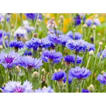 Centaurea Cyanus 'Cornflower' Biodynamic Seeds - Organic and Demeter Certified