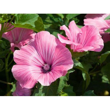 Lavatera trimestris 'Mallow'. Organic,Biodynamic and Demeter certified.