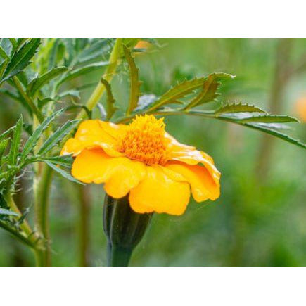 Tagetes patula. Organic,Biodynamic and Demeter certified.