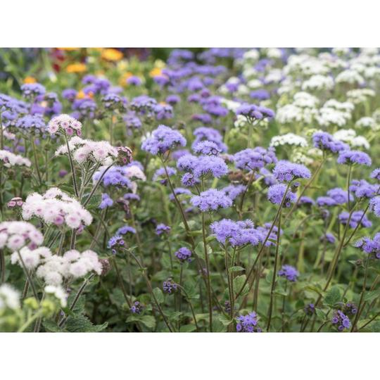Seed Co-Operative Ageratum houstonianum 'Floss Flower' 700 Seeds. Biodynamic and Demeter certified