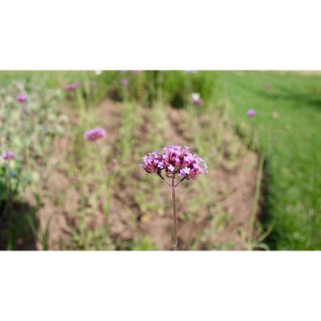 Seed Co-Operative Verbena Bonariensis 100 Seeds. Biodynamic and Demeter certified