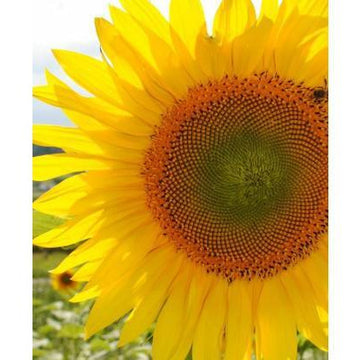 Giant Sunflower Biodynamic Seeds - Organic and Demeter Certified