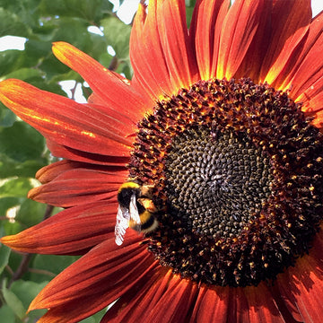 Sunflower 'Velvet Queen' Biodynamic Seeds - Organic and Demeter Certified