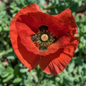 Red Poppy Biodynamic Seeds - Organic and Demeter Certified