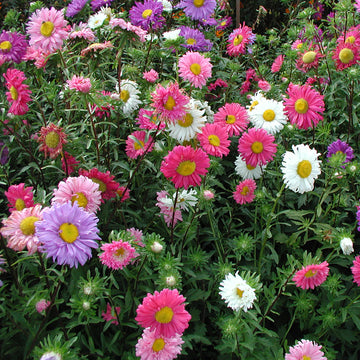 China Aster Single Mix Biodynamic Seeds - Organic and Demeter Certified
