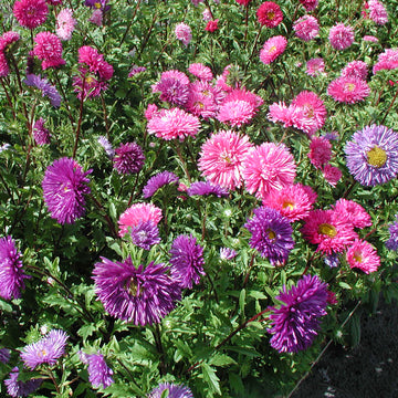China Aster Double Mix Biodynamic Seeds - Organic and Demeter Certified
