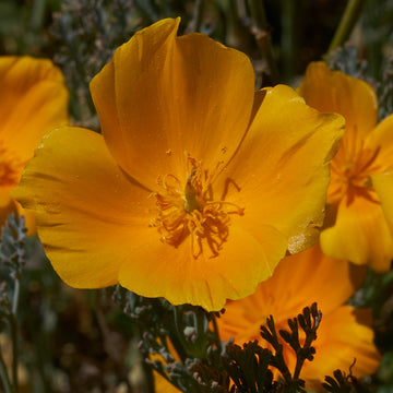 Eschscholzia California 'Californian Poppy' Biodynamic Seeds - Organic and Demeter Certified