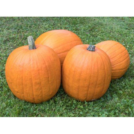 Pumpkin seeds  'Jack O'Lantern' . Organic and Biodynamic, Demeter certified