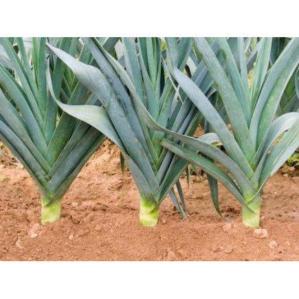 Leek 'Avano' Biodynamic Seeds - Organic and Demeter Certified brought to you by TheBiodynamic.store