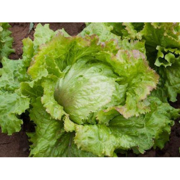 Lettuce 'Laibacher Eis'. Organic, biodynamic and Demeter certified.