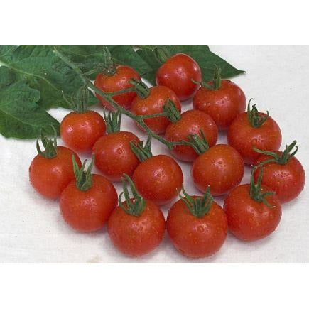 Cherry Tomato 'Zuckertraube' Biodynamic Seeds - Organic and Demeter Certified brought to you by TheBiodynamic.store