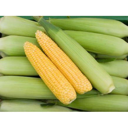 Sweet corn 'Golden Bantam'. Organic, Biodynamic and Demeter certified.