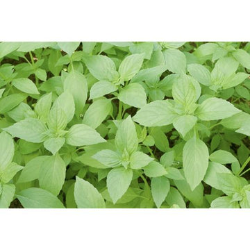 Seed Co-Operative Basil 'Lemon' 250 Seeds. Biodynamic and Demeter certified
