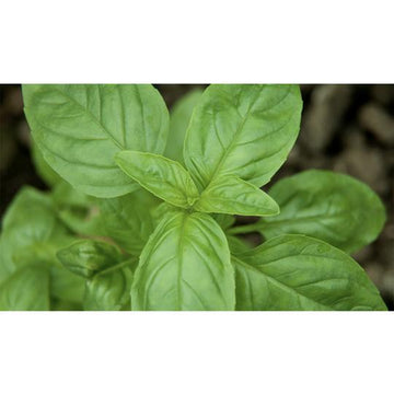 Seed Co-Operative Sweet Basil 400 seeds. Biodynamic and Demeter certified.