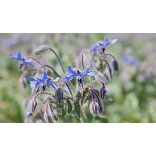 Seed Co-Operative Borage 50 Seeds. Biodynamic and Demeter certified