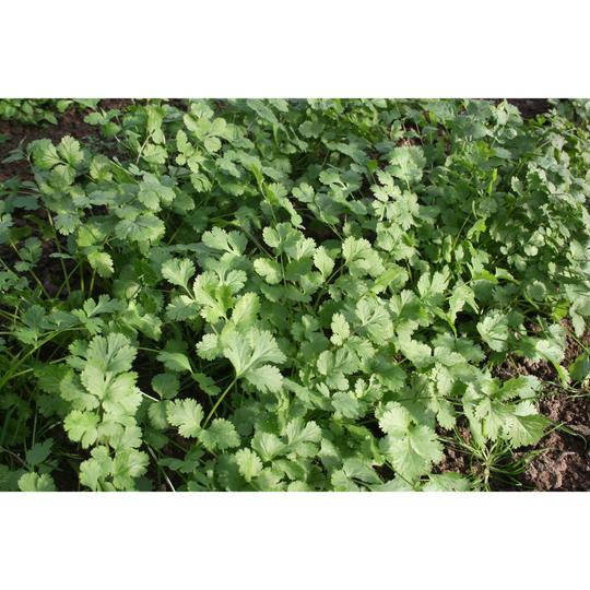 Seed Co-Operative Coriander 350 seeds. Biodynamic and Demeter certified.
