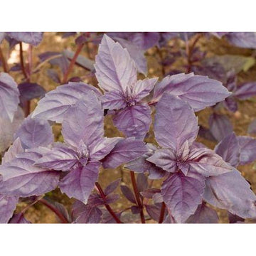 Red Basil Biodynamic Seeds - Organic and Demeter Certified