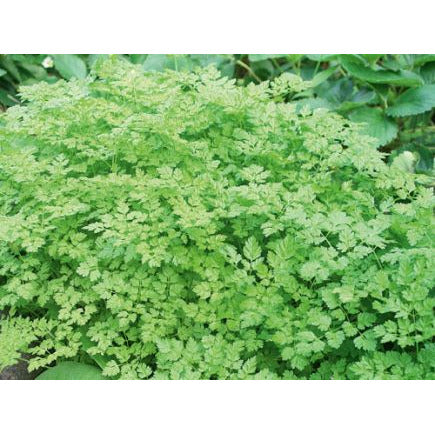 Chervil Biodynamic Seeds - Organic and Demeter Certified brought to you by TheBiodynamic.store