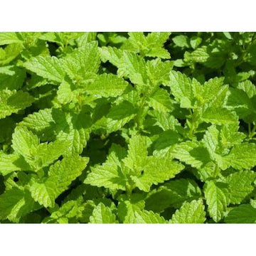 Lemon Balm Biodynamic Seeds - Organic and Demeter Certified