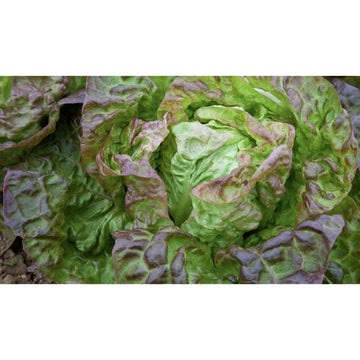 Seed Co-Operative Lettuce 'Merveille des Quatre Saisons' 300 Seeds. Biodynamic and Demeter certified