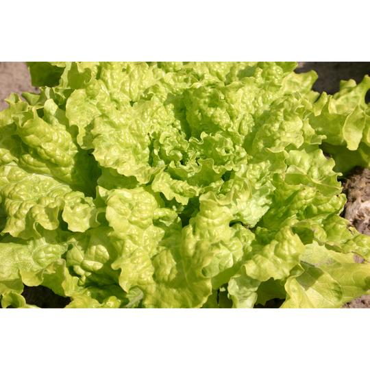 Seed Co-Operative Lettuce 'Black-seeded Simpson' 125 Seeds. Biodynamic and Demeter certified