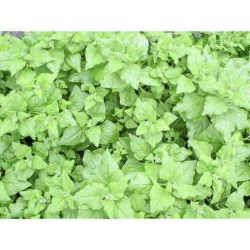 Seed Co-Operative Spinach 'New Zealand Spinach' 50 Seeds. Biodynamic and Demeter certified