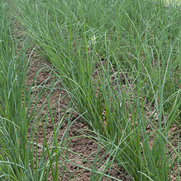 Garlic Chives Biodynamic Seeds - Organic and Demeter Certified