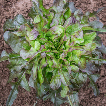 Lettuce 'Cocarde' Biodynamic Seeds - Organic and Demeter Certified