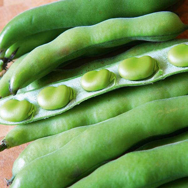 Broad Bean 'Green Hangdown' Biodynamic Seeds - Organic and Demeter Certified brought to you by TheBiodynamic.store